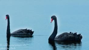 Black swans, Myall Lake