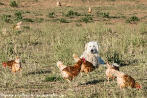 Beware of the chicken guard dog. They look nice but are very protective of their flock.