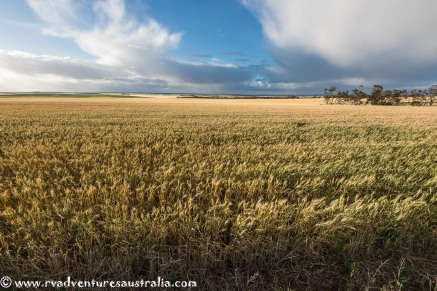 Grain fields near Kimba